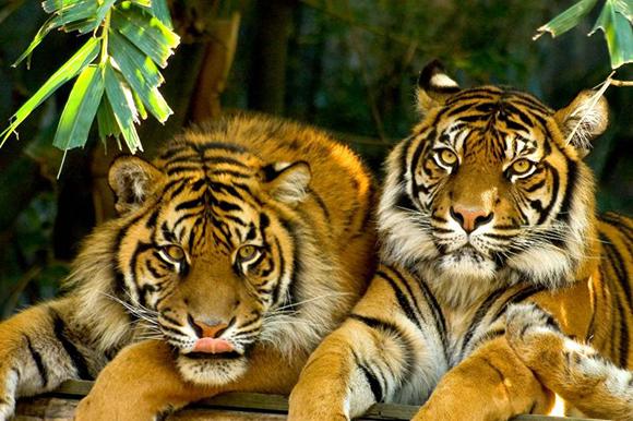 тигры на лежбище