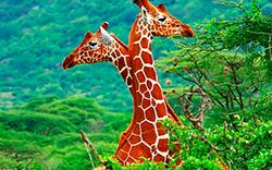 интересные жирафы