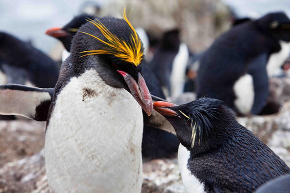 пингвины с хохолком