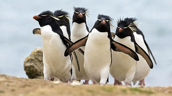 пингвины хохлатые