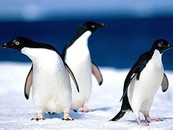 пингвины белокрылые