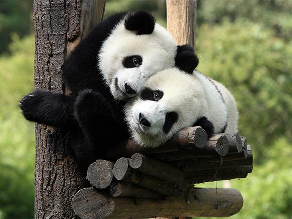 панда в Чэнду