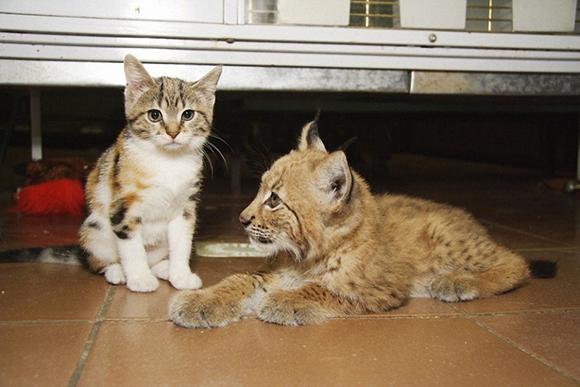 рысенок и кошка