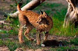 пиренейская рысь фото