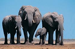 семейство африканских слонов