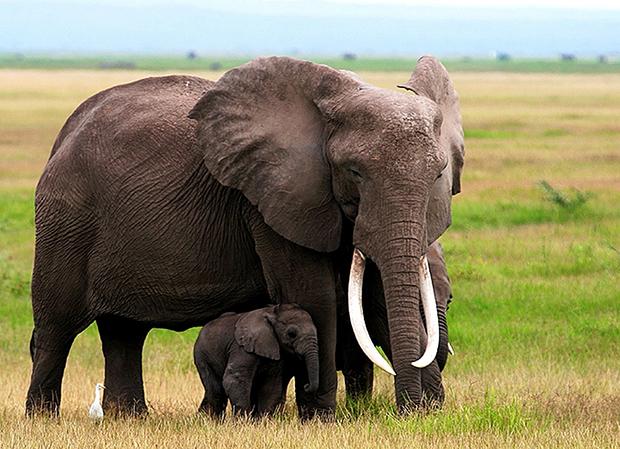 слон со слоненком фото