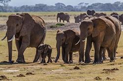слоновье стадо на прогулке
