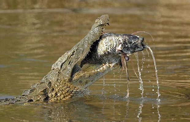 крокодил схватил рыбу фото