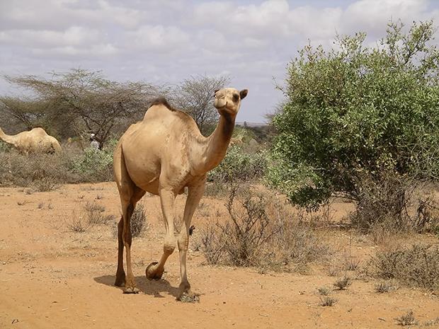 верблюд в Австралии