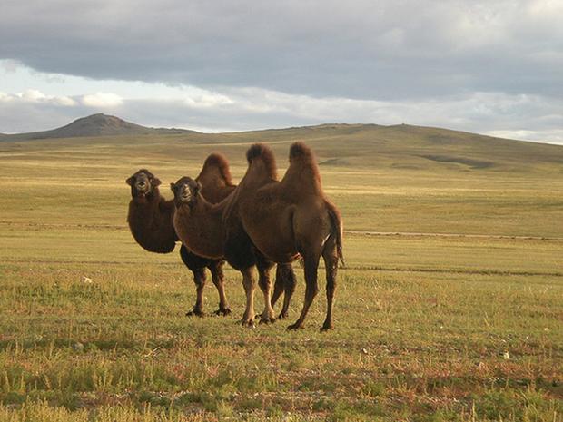 дикий верблюд хаптагай