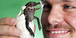 новорожденный крокодил
