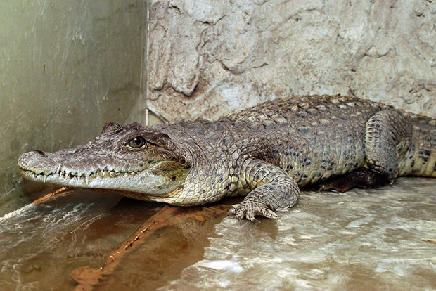 крокодил в вольере