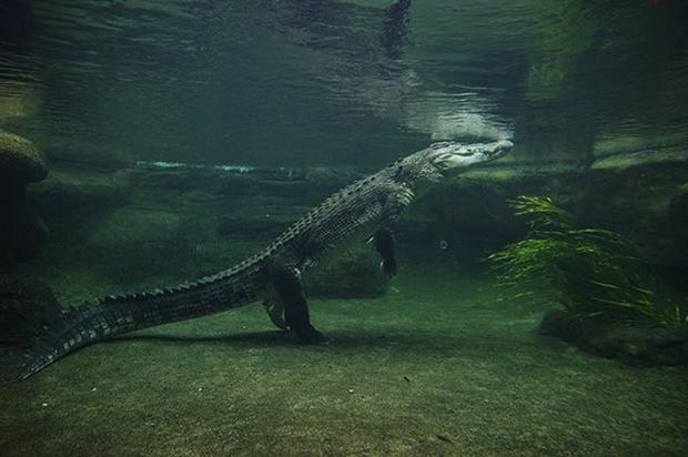крокодил плывет в воде