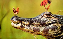 крокодил в бабочках