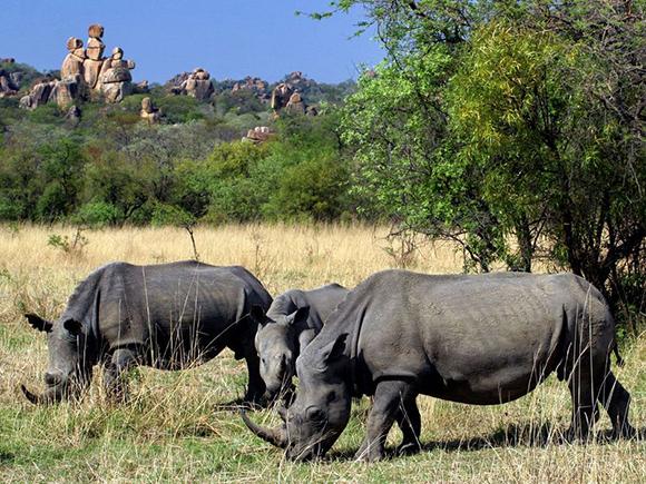 Чёрные носороги в саванне