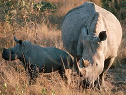 Носороги. Мать и малыш