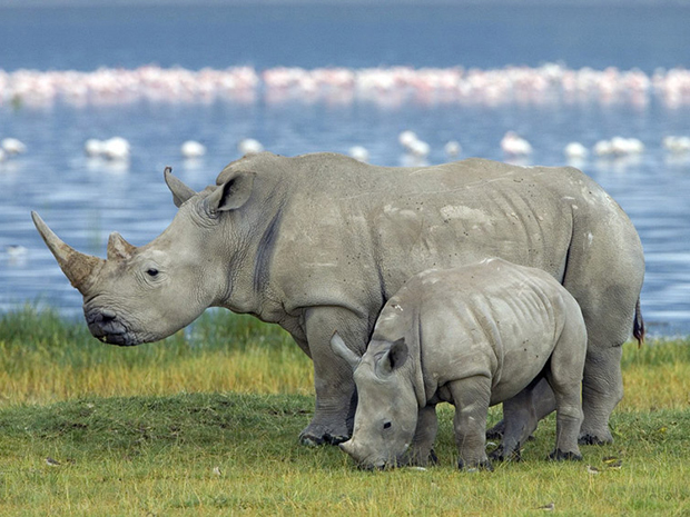 белый носорог с детенышем