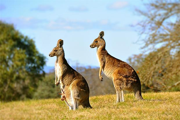 кенгуру на пастбище