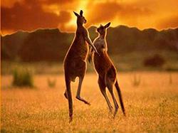 кенгуру на закате