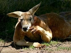 кенгуру отдыхает в жаркий день