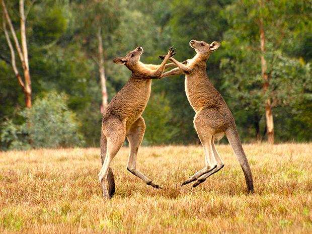 бои самцов кенгуру