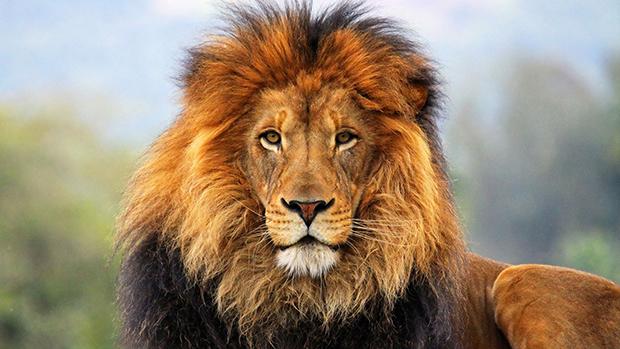лев с большой гривой