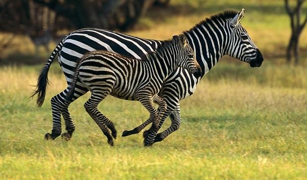 зебра и жеребенок
