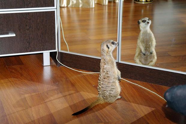сурикат смотрится в зеркало
