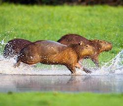 капибары бегут по воде