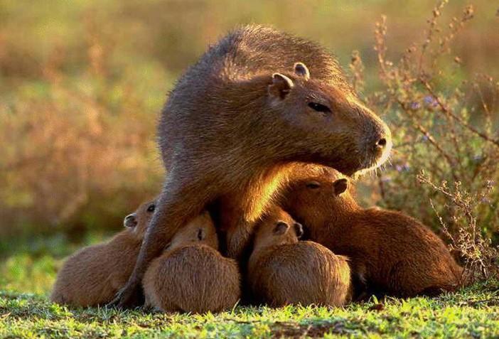 мама капибара с малышами