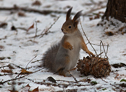 белка зимой