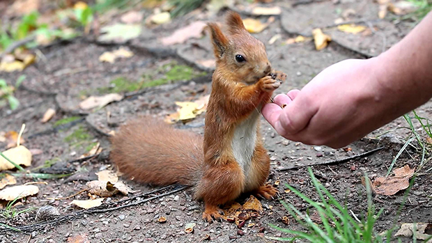 белка ест с руки