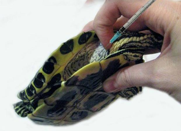 укол черепахе в плечевую мышцу