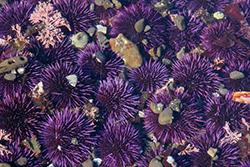 фиолетовые морские ежи