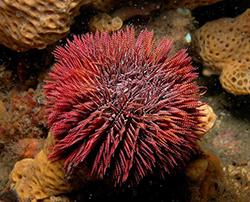 морской еж на дне океана