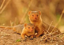 мама и малыш мангуст