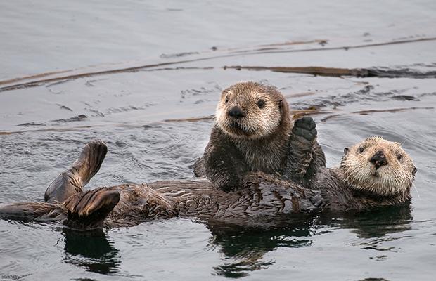 семейство морских выдр фото
