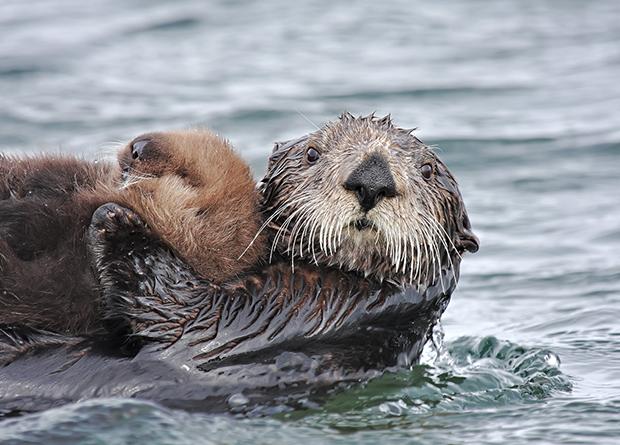 морская выдра с детенышем