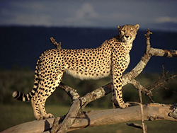гепард фото
