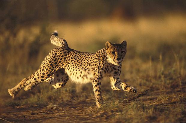гепард в беге фото