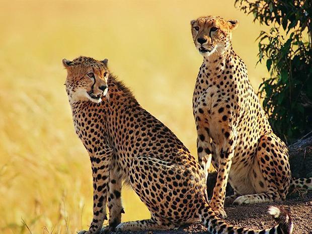 пара гепардов фото