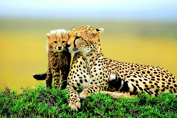 Самка гепарда с малишом