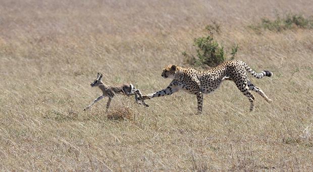 гепард на охоте