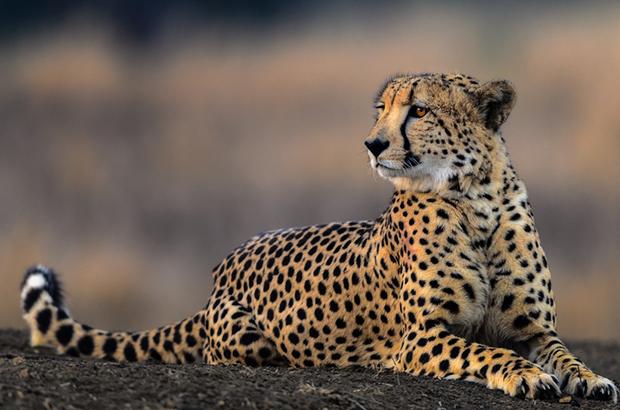 гепард отдыхает в тени