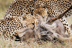 гепарды поймали гну