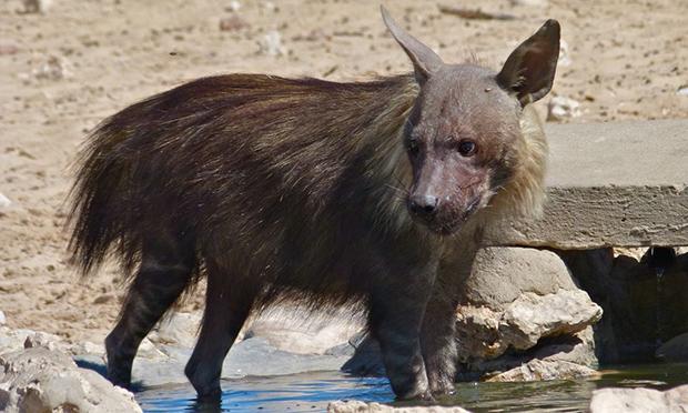 бурая гиена на водопое