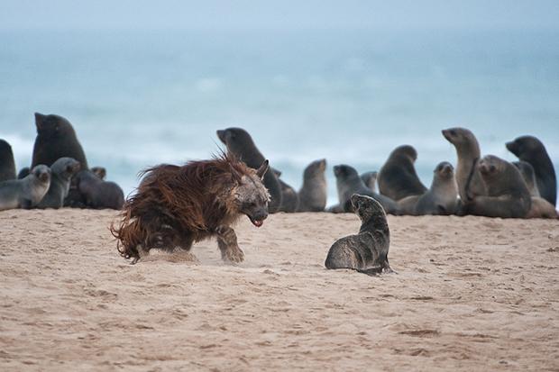 бурая гиена охотится на тюленя фото