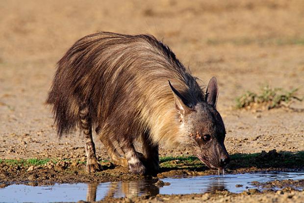 бурая гиена у озера