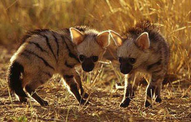 малыши земляного волка