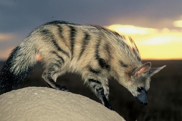 земляной волк на склоне